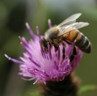 Picture of a honeybee on a flower.