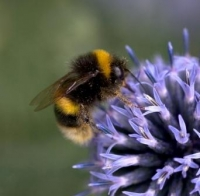 Picture of a bumblebee on a flower